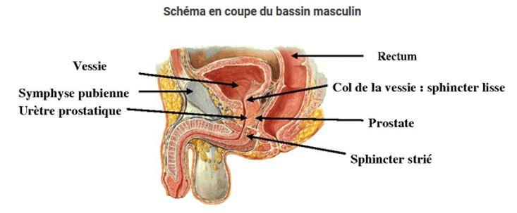 Gaspard Protocole-ProstateSchemaEnCoupe1
